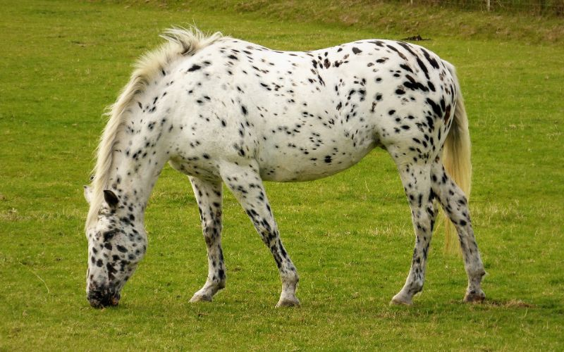 appalosa horse breed