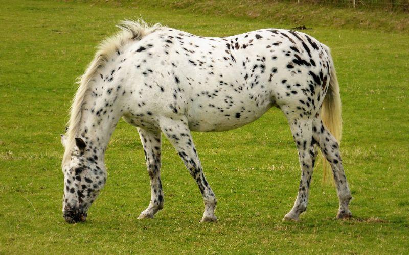 appalosa horse breed