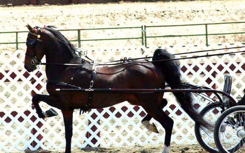 hackney horse breeds