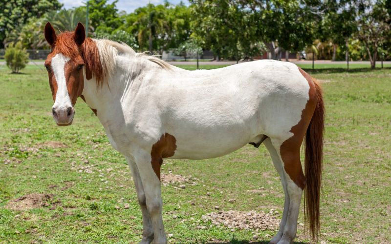 Paint Horse breed