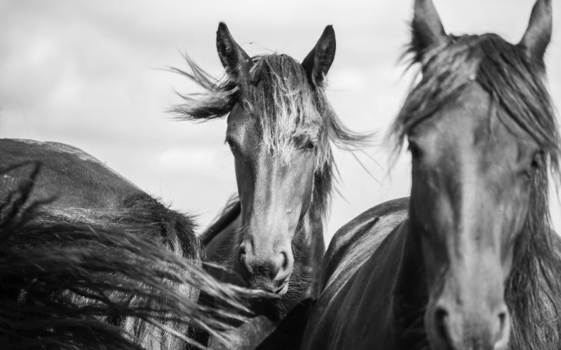 famous friesian horse names
