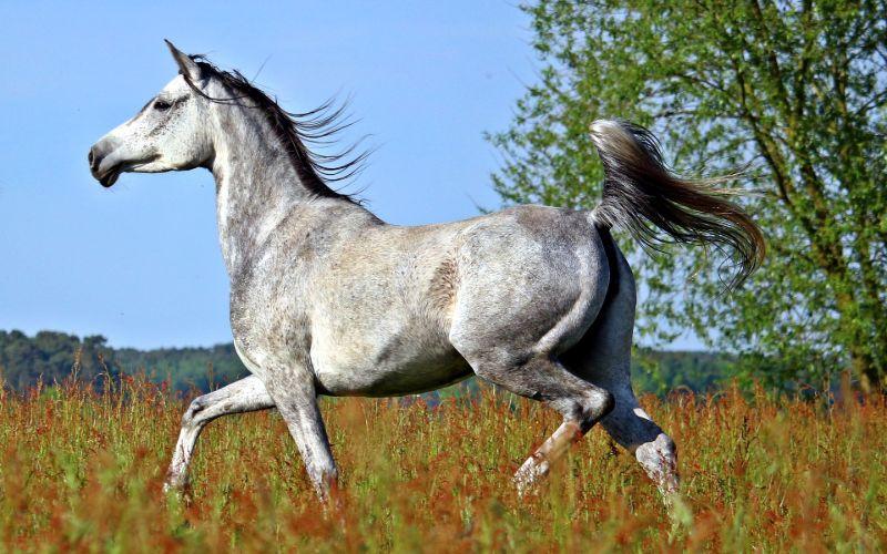 arabian horse cost