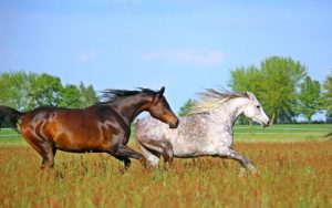 arabian horse price