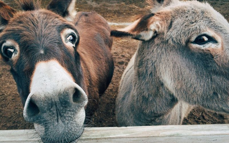 donkey names that start with d