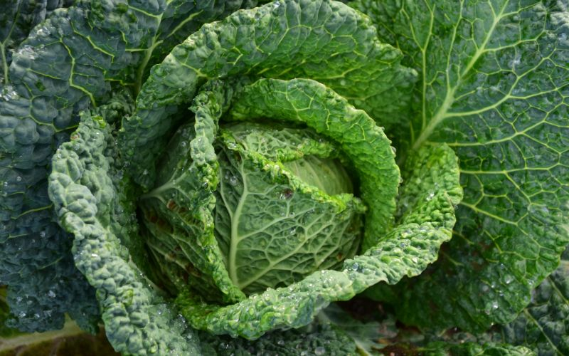 why is cabbage bad for horses