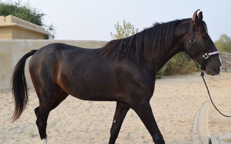 marwari horse price