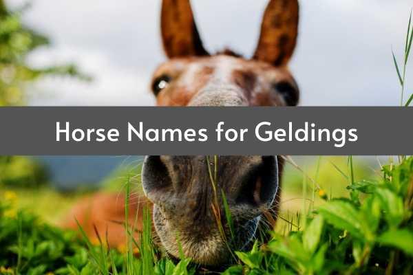horse names for geldings