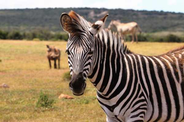female zebra names