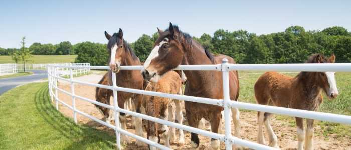 female Clydesdale Horse Names
