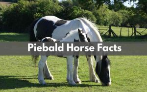 Piebald Horse