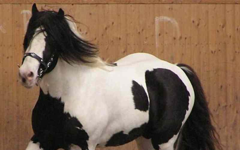 Piebald-Horse-Facts