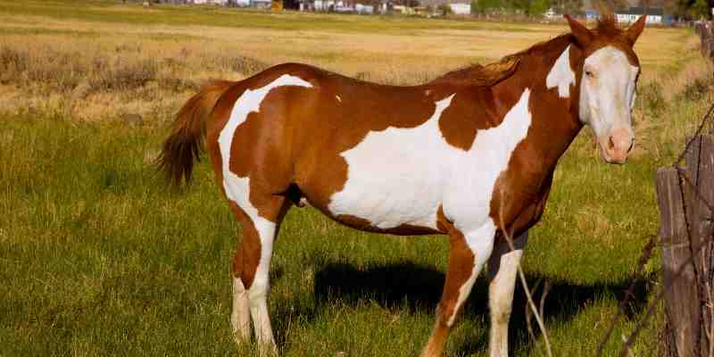 pinto-horse-names-for-mares