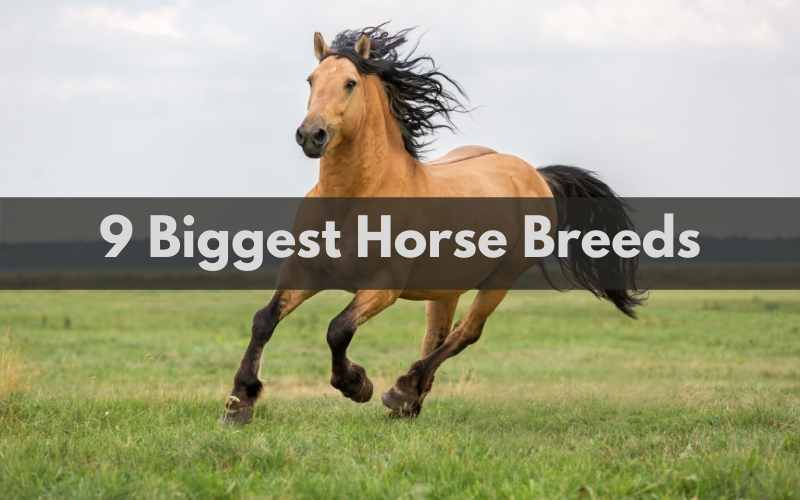 Biggest Horse Breeds
