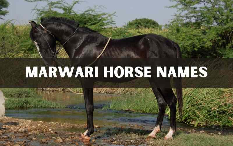 marwari horse names