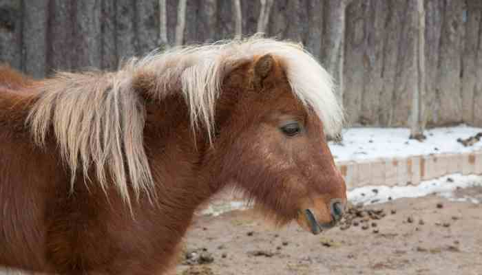 Miniature Horse Price