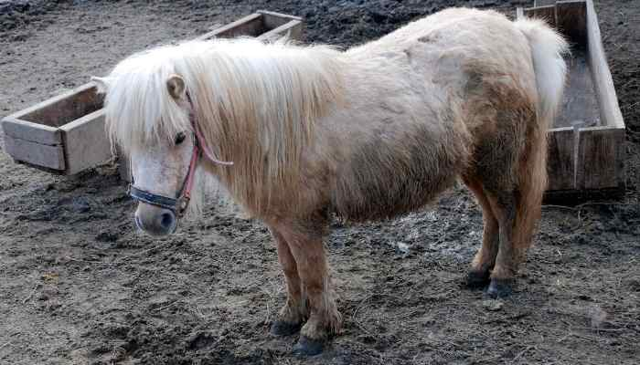 Miniature-Horse-cost