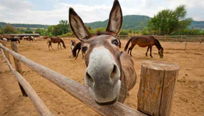 female mule names