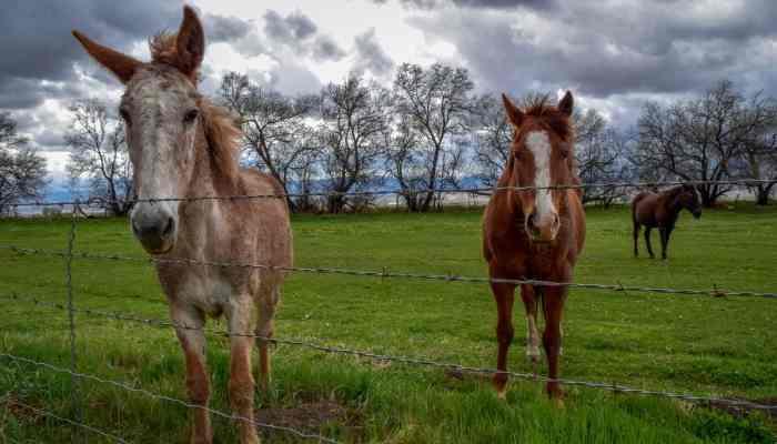 male mule names