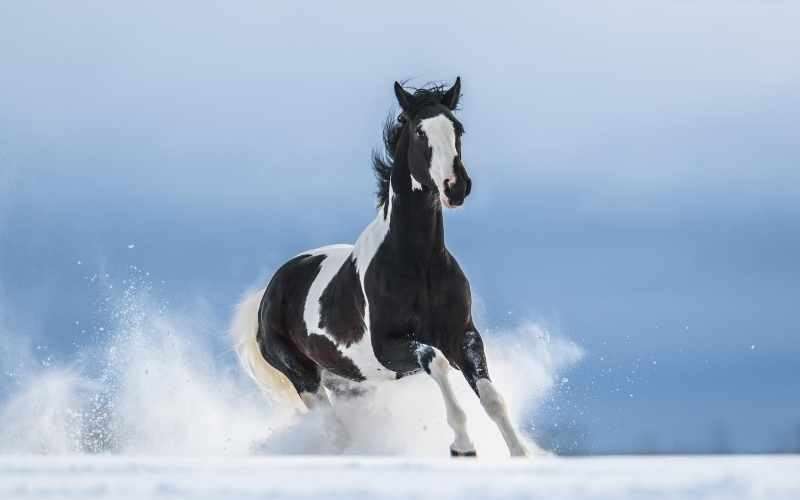 black and white paint horse name