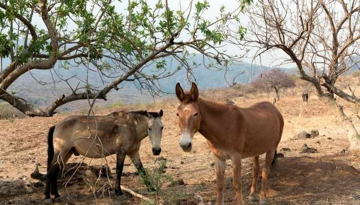 how much does a mule cost