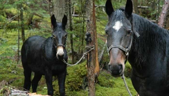 mule cost