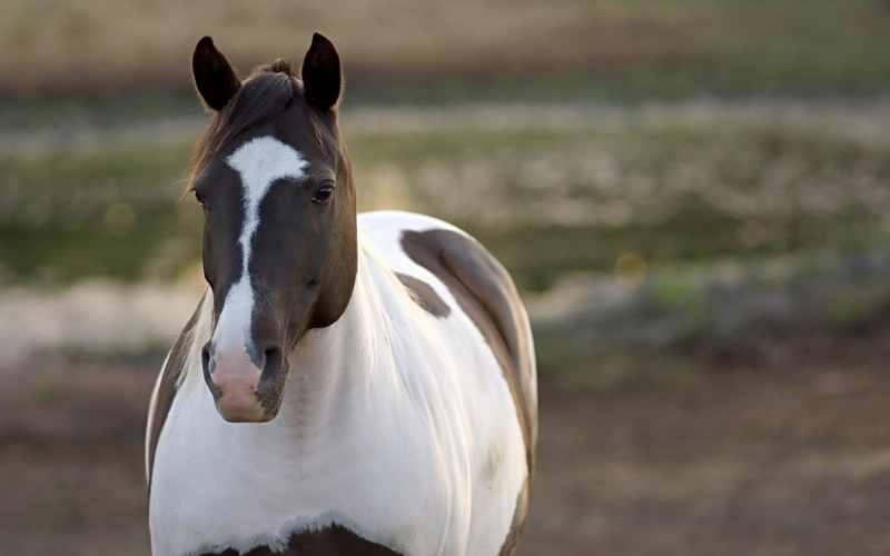 American-Paint-Horse