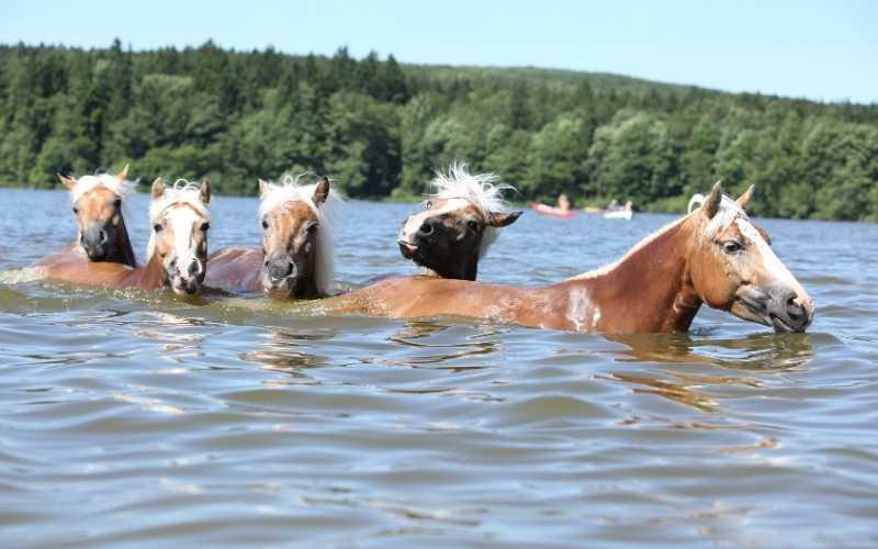 can horses swim in the ocean