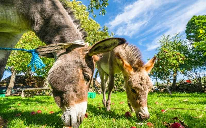 apples for donkey