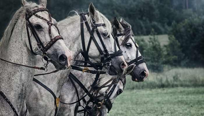 war horse breeds