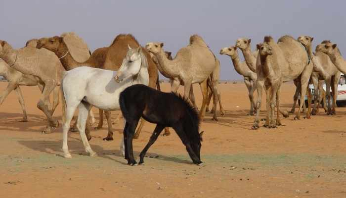Are Camels Faster than Horses