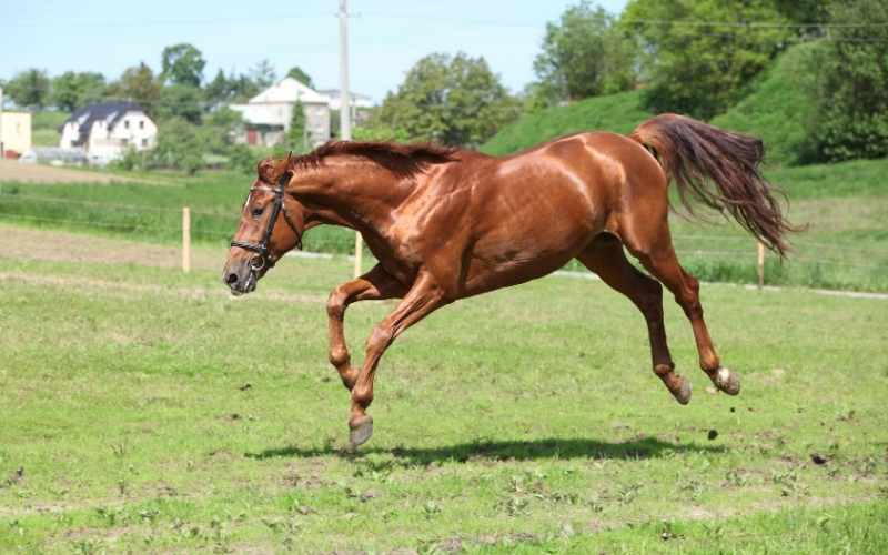 Belgian Warmblood