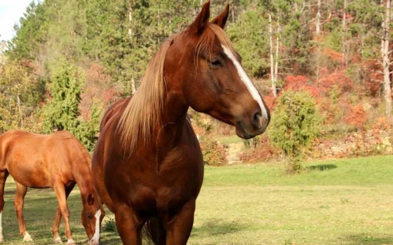 Gelderland-Horse