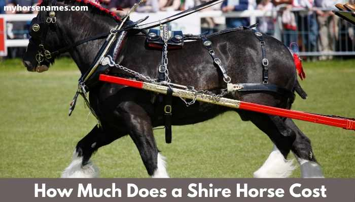 How Much Does a Shire Horse Cost