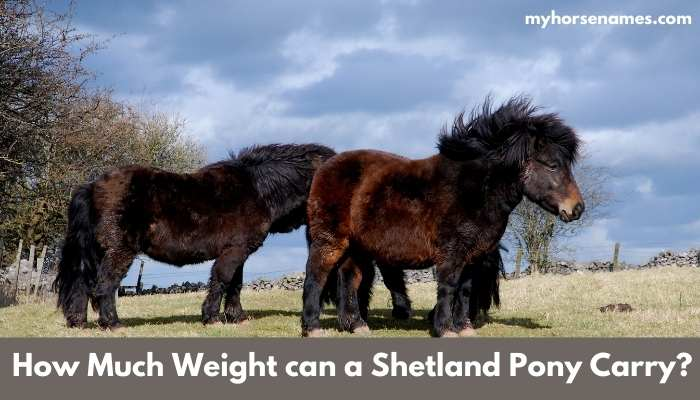 How Much Weight can a Shetland Pony Carry