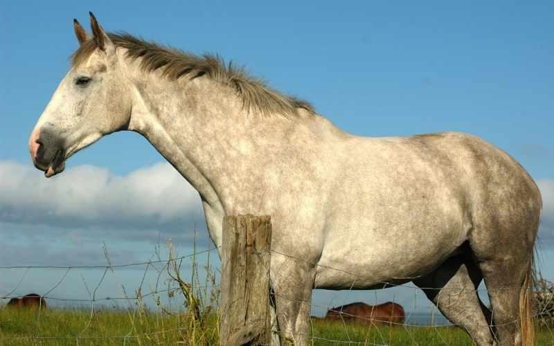 Irish-Sport-Horse