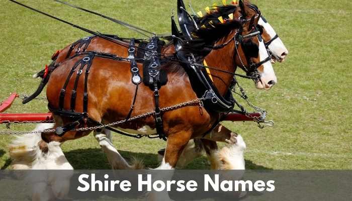 shire horse names