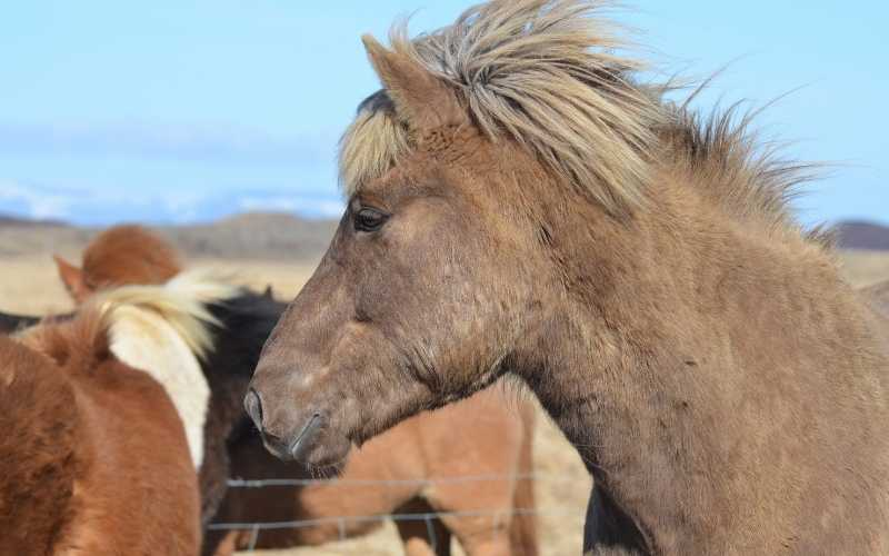 Strawberry Roan Horse color