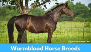 Warmblood Horse Breeds
