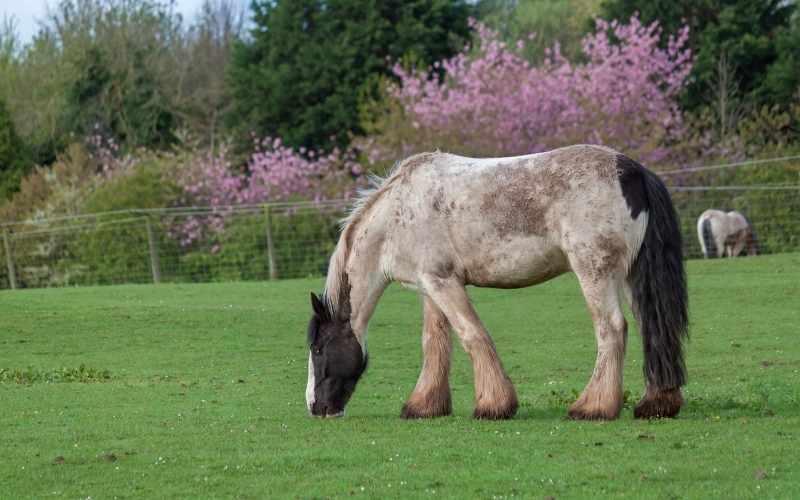 belgian draft horse names