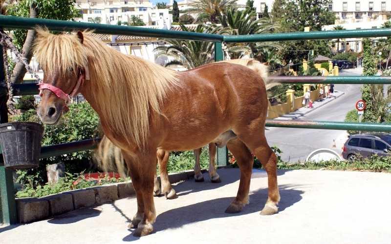shetland pony weight
