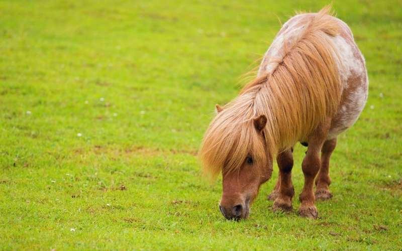 shetland pony cost