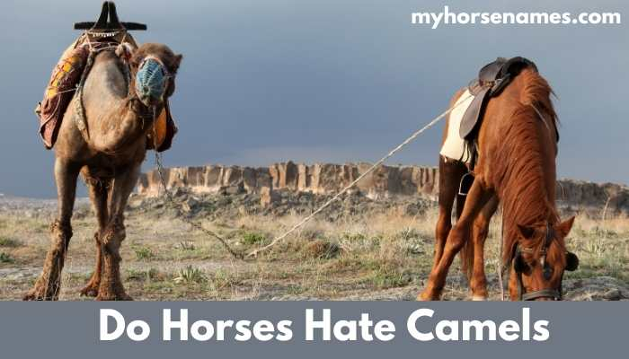 Do Horses Hate Camels