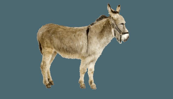 Do miniature Donkeys Eat Carrots