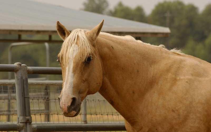 male Palomino Horse Names