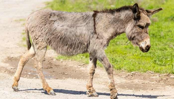 Do All Donkeys Have a Cross on their back