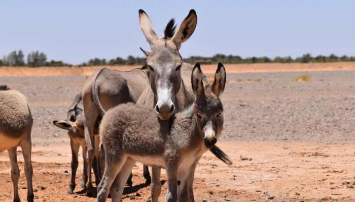 Do Donkeys Kill Coyotes