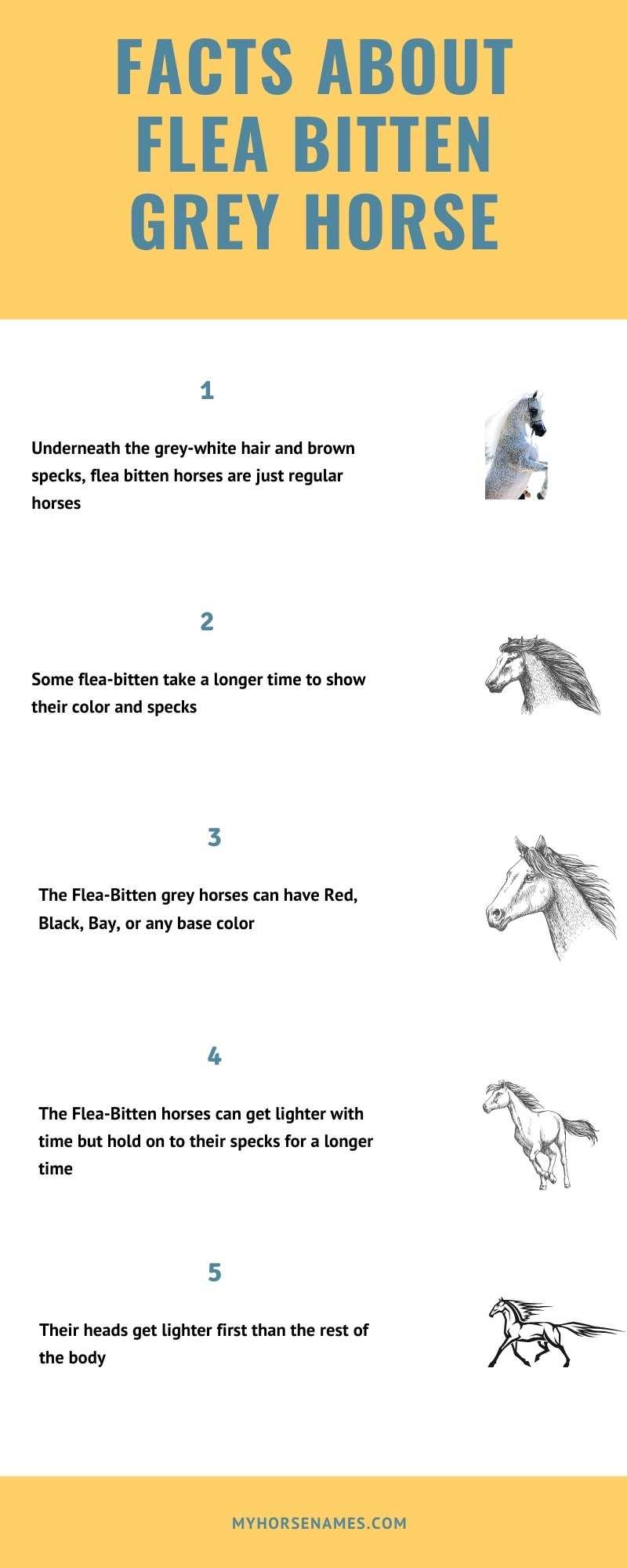 Flea Bitten Grey Horse breed