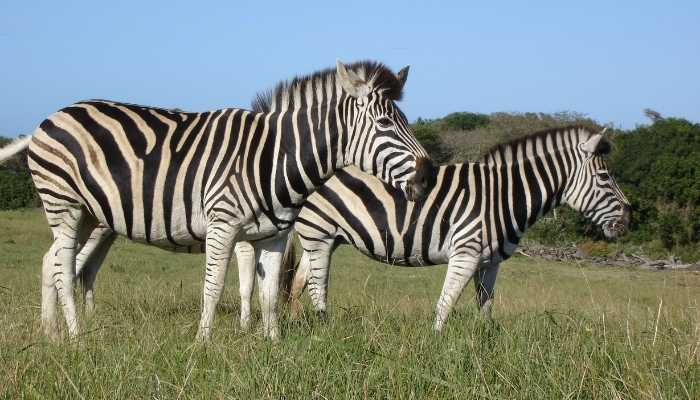 What Do Zebras Eat