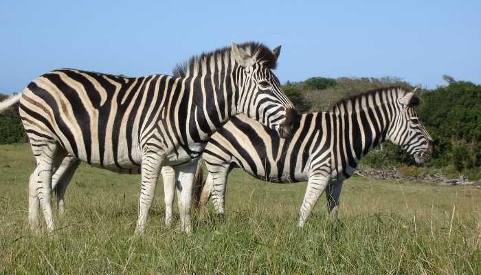 What Do Zebras Eat
