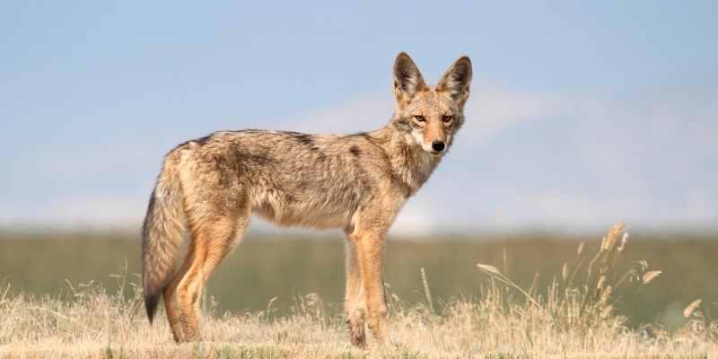 why do donkeys kill coyote
